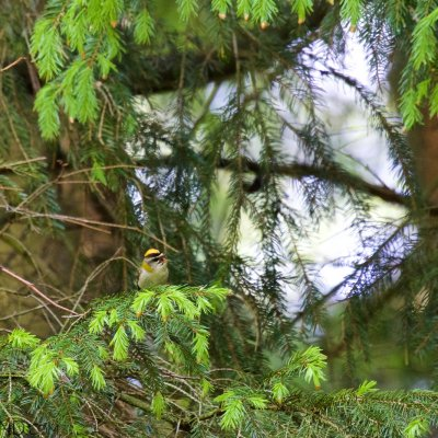 Firecrest In The Białowieża Forest