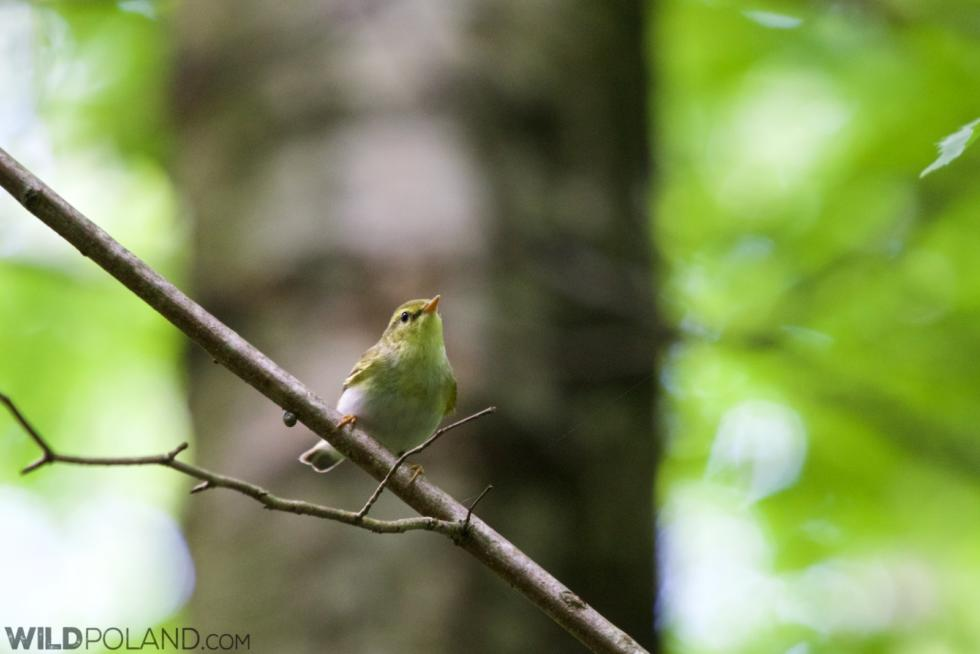 Wood Warbler In The Białowieża Forest
