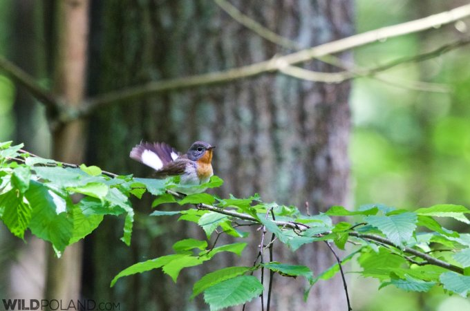 Red-breasted Flycatcher In The Białowieża Forest