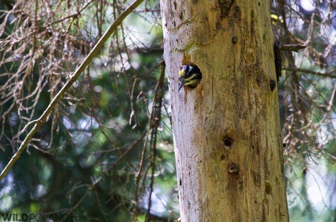 Three-toed Woodpecker In The Białowieża Forest
