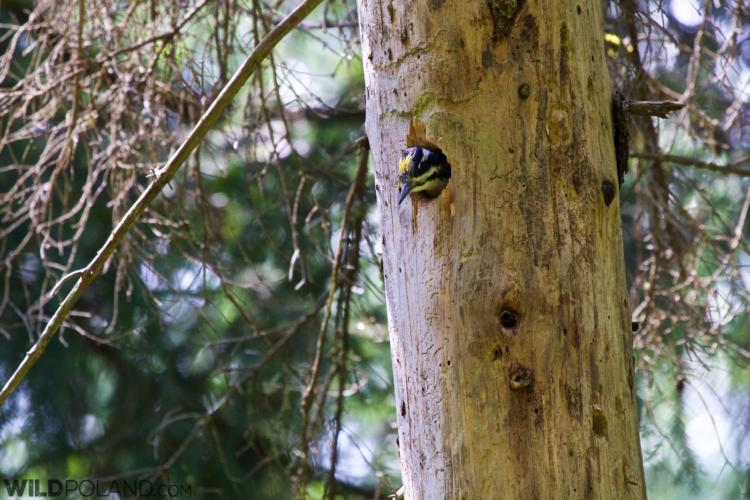 Three-toed Woodpecker In The Białowieża Forest