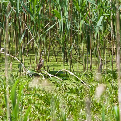 Great Reed Warbler In The Water Soldier In The Białowieża Forest