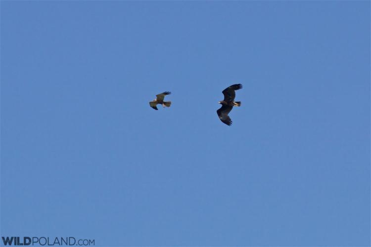Greater Spotted Eagle And A Marsh Harrier In The Siemianówka Reservoir