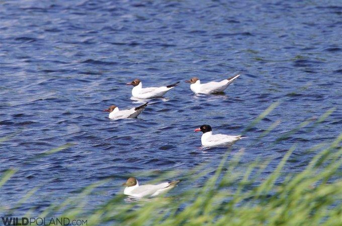 Mediterranean Gull In The Dojlidy Fishponds