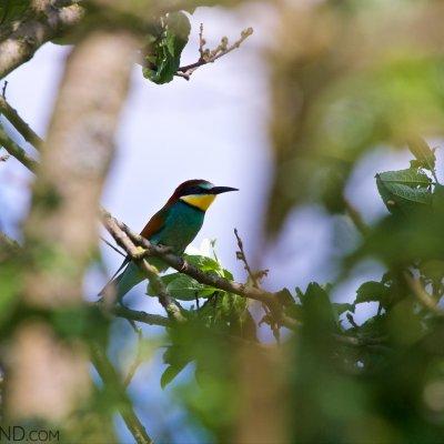 Bee-eater, Eastern Poland