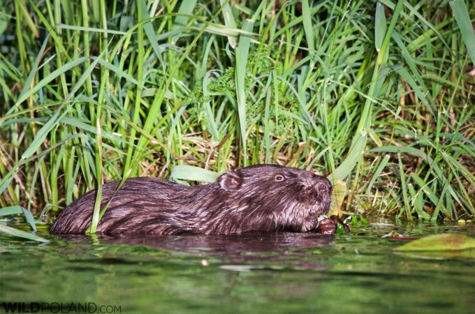 European Beaver In The Biebrza Marshes
