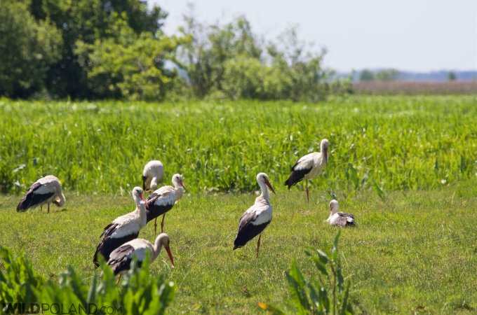 White Storks In The Biebrza Marshes
