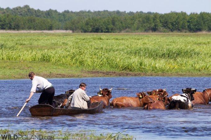 Swimming Cows In Brzostowo, Biebrza National Park
