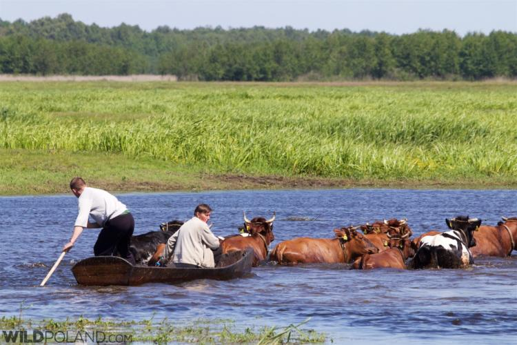Swimming Cows In Brzostowo, Biebrza National Park