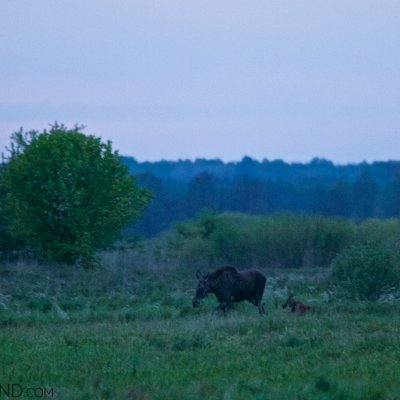 Elk (Moose) Cow With A Calf In The Narew Marshes