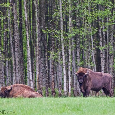 Two European Bison Bulls In The Białowieża Forest