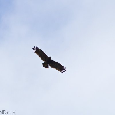 Greater Spotted Eagle In The Biebrza Marshes