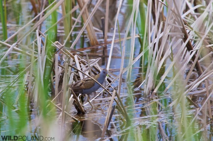 Little Crake Seen On Our Trip At The Fishponds