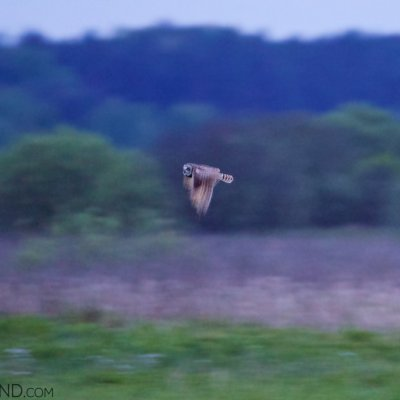Short-eared Owl Seen In The Narew Marshes