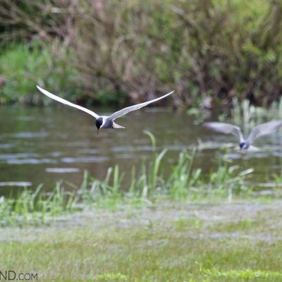 Whiskered Terns In The Biebrza Marshes