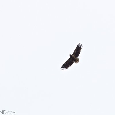 White-tailed Eagle Seen In The Biebrza Marshes