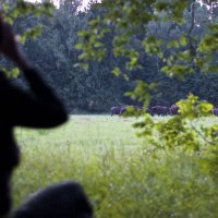 Watching a herd of wild European Bison from a safe distance