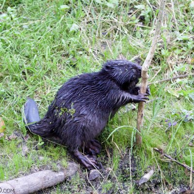 Beaver Seen On Our Trip
