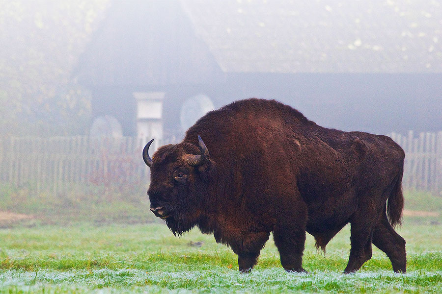 Bison At The Edge Of A Village In The Białowieża Forest