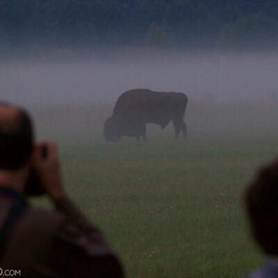 Photographing Bison At Dawn In The Białowieża Forest