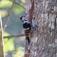 White-backed Woodpecker In The Białowieża Forest By Tomasz Jezierczuk