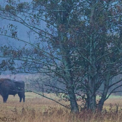 Wild Bison In The Białowieża Forest At Dawn