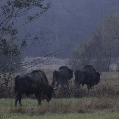 Three Bison Bulls In The Białowieża Forest At Dawn