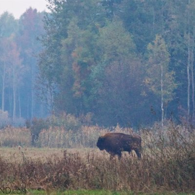 Wild Bison In The Białowieża Forest At Dusk