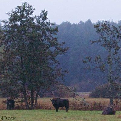 Wild European Bison In The Białowieża Forest At Dawn