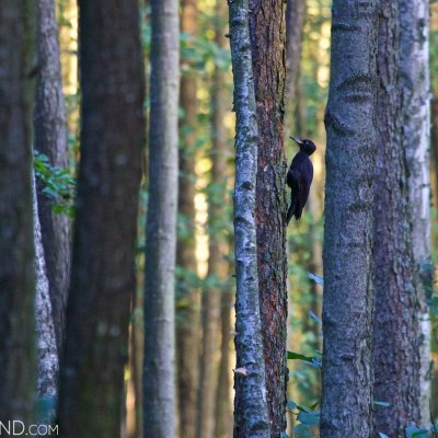 Black Woodpecker In The Biebrza Marshes