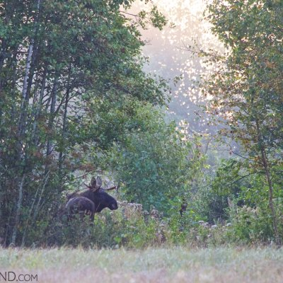 Elk (Moose) In The Biebrza Marshes Early Morning