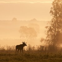 Elk (Moose) in the Biebrza Marshes at dawn