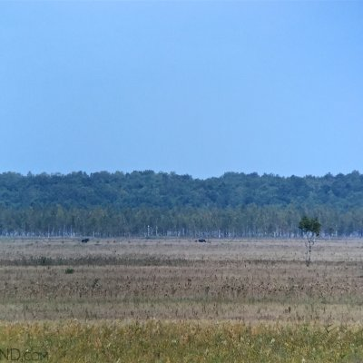 Elks In The Biebrza Marshes