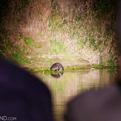 Watching Beavers During Our Boat Trip In The Biebrza Marshes
