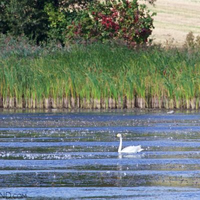 Whooper Swan In The Biebrza Marshes