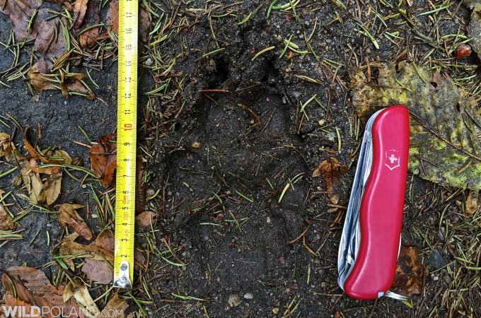 Wolf Footprint In The Białowieża Forest