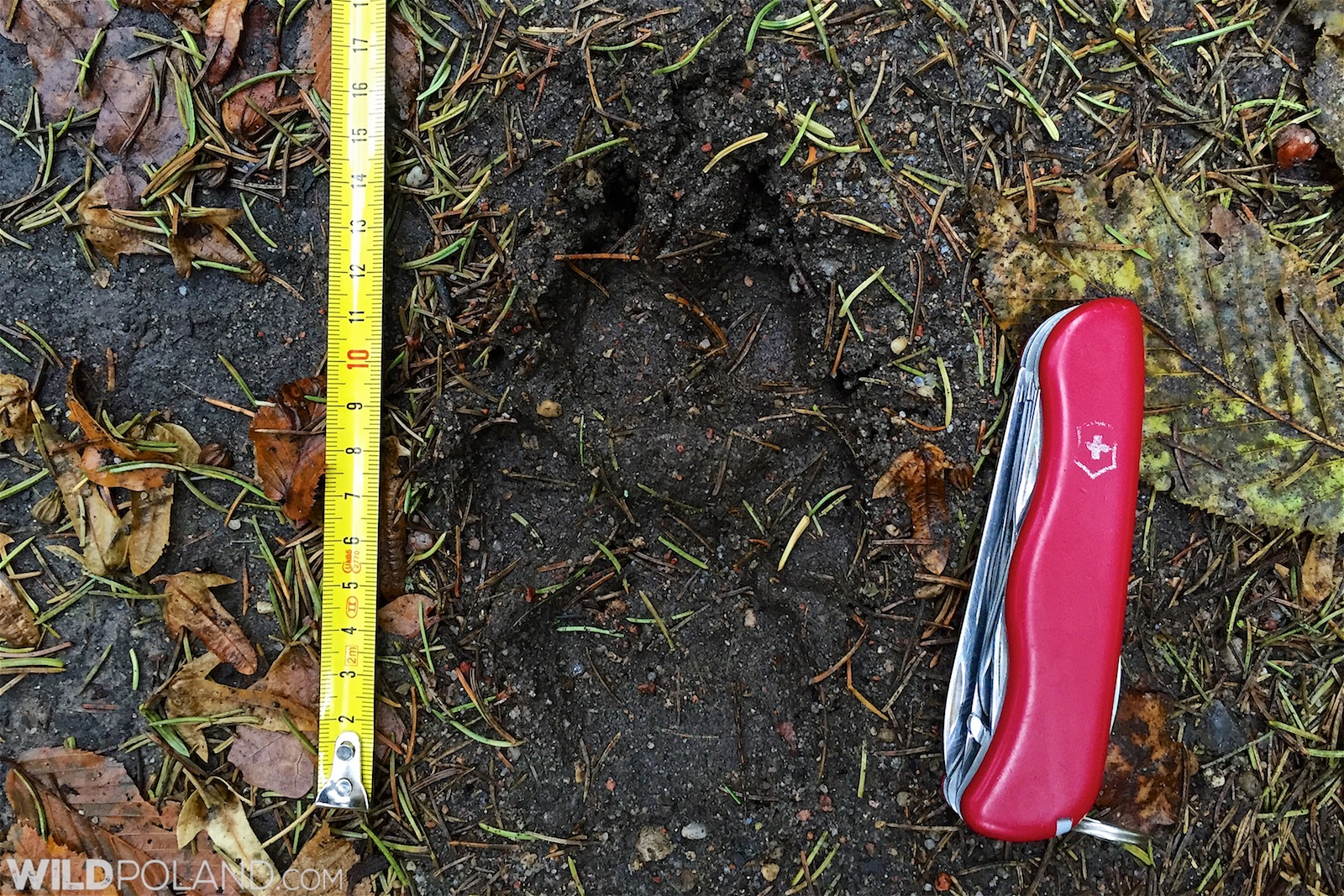 Bison Safari & Wolf Tracking Trip Report – Mid Oct 2015