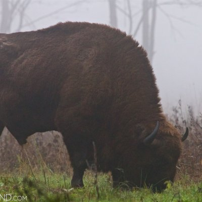 Bison Bull Feeding In The Białowieża Forest At Dawn