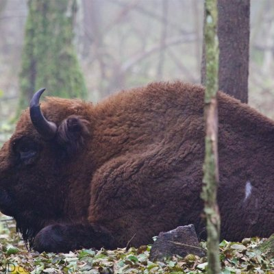 Bison Bull Having Rest In The Białowieża Forest At Dawn