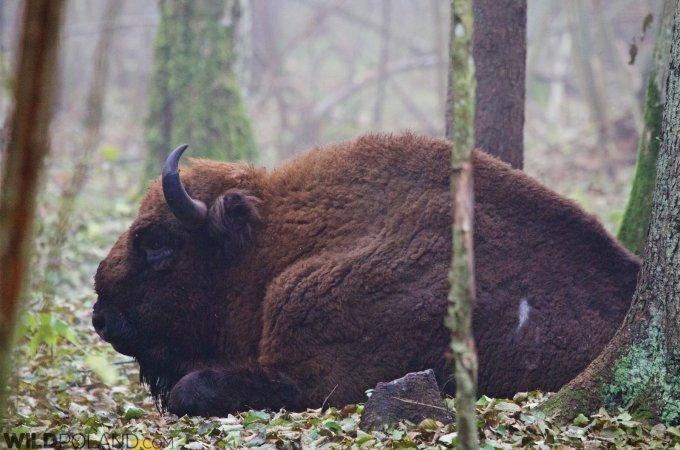 Bison Safari & Primeval Forest – End Oct 2015