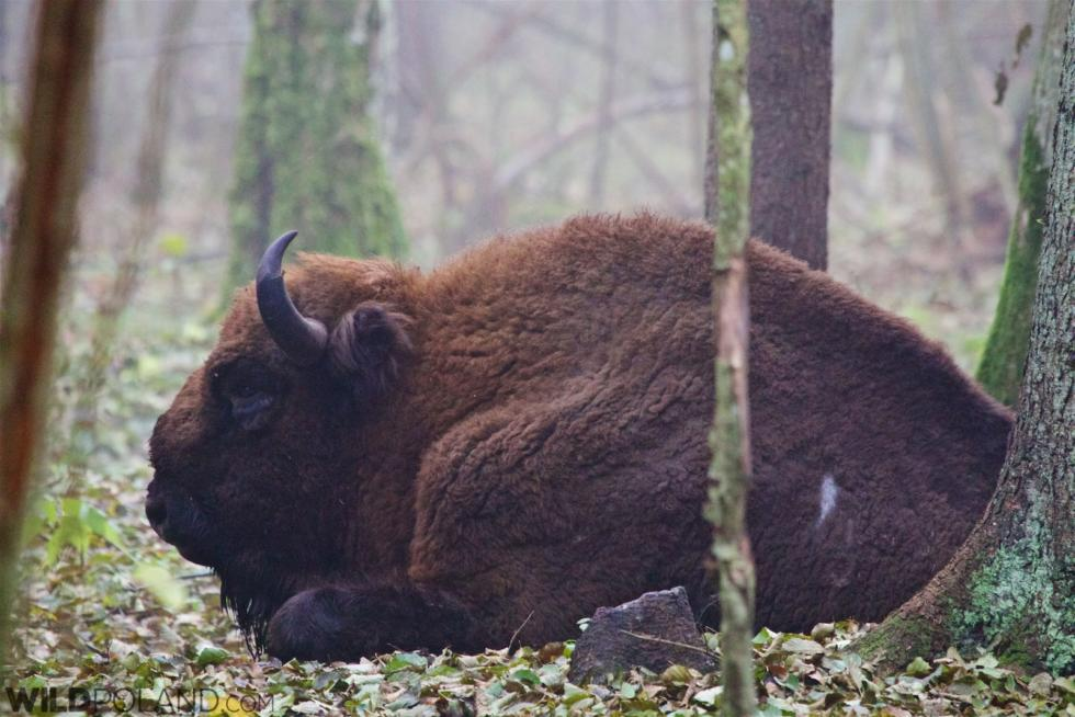 Bison Safari In The Białowieża Forest, Oct 2015
