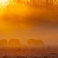 Herd Of European Bison At Sunrise In The Białowieża Forest