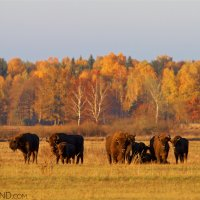 A Herd Of Bison In The Bialowieza Forest At Sunset