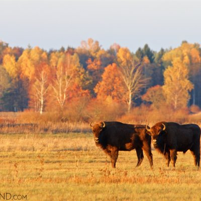 Bison In The Bialowieza Forest At Sunset