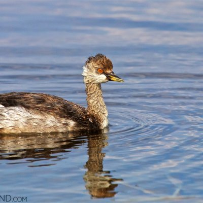 Black-necked Grebe In The Biebrza Marshes
