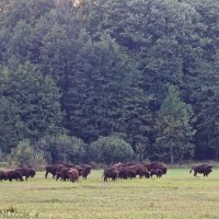 A Herd Of Bison At Dusk In The Białowieża Forest