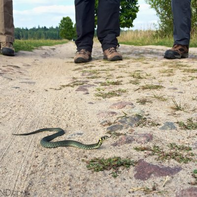 Grass Snake On The Trail, Białowieża Forest