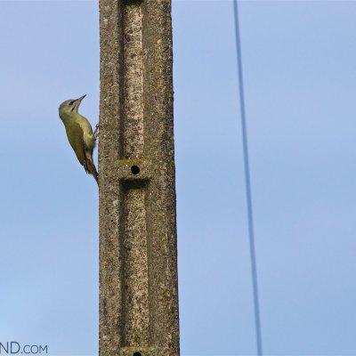 Grey-headed Woodpecker In The Biebrza Marshes