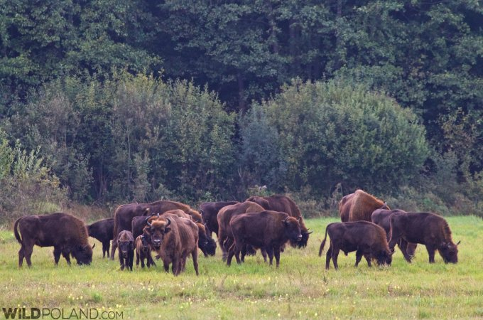 Herd Of European Bison In The Białowieża Forest