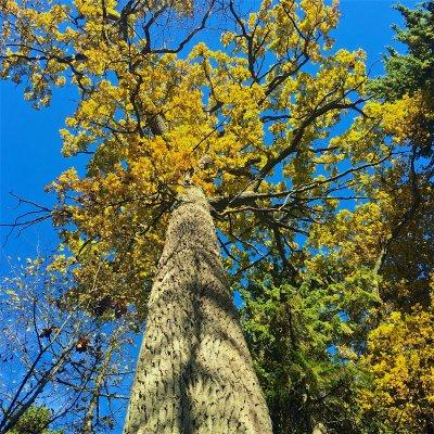 Huge Oak Tree In The Białowieża Forest National Park